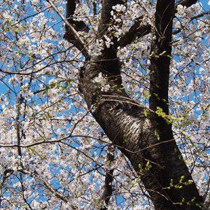 sakura tree with blue sky