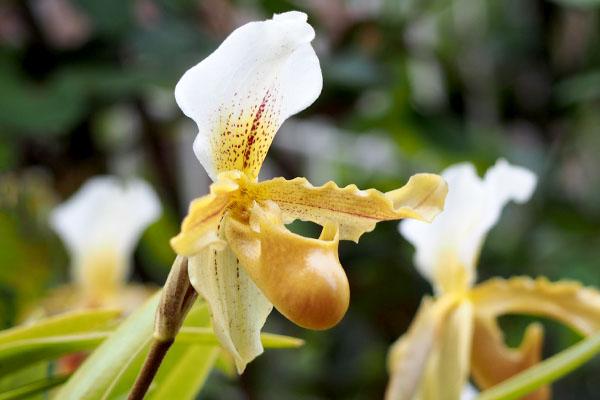 flower white orchid paphiopedilum