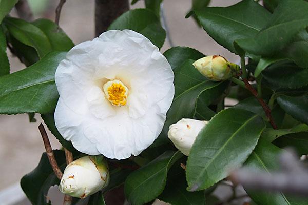 flower white cameria
