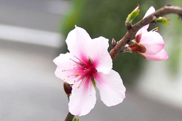 almond flower pink