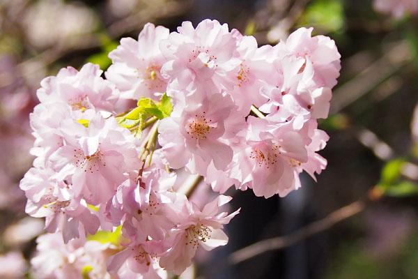 flower sakura pink group