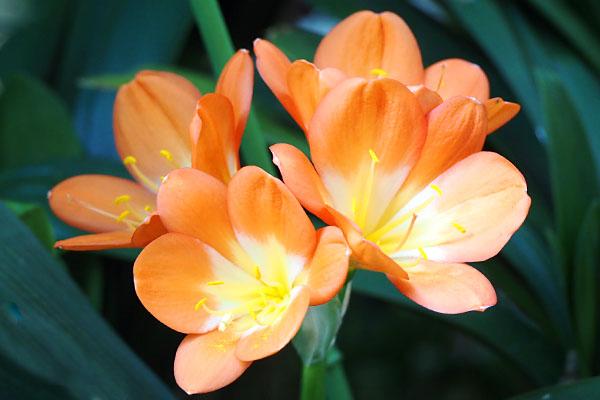 flower orange kunshiran clivia
