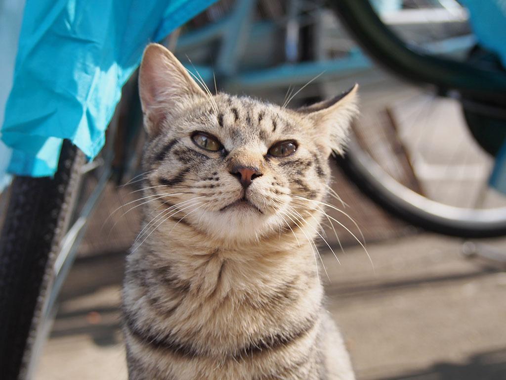 still kitten Shimao