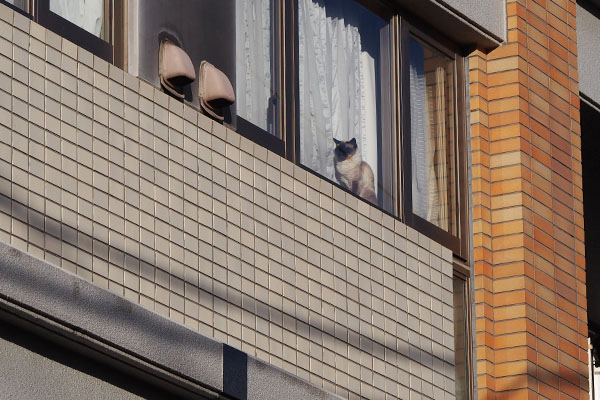 シャム猫さん 窓辺 遠