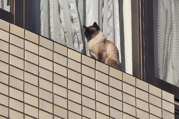 シャム猫さん 窓辺 アップ
