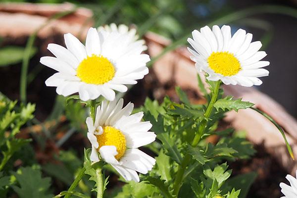 花 マーガレット flower white