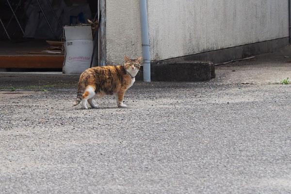 三毛猫さん 立ち止まりこちらを見る