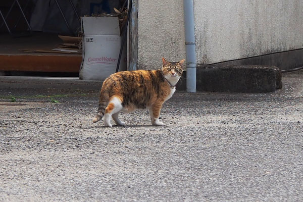 miyazaki_householdcat_calico