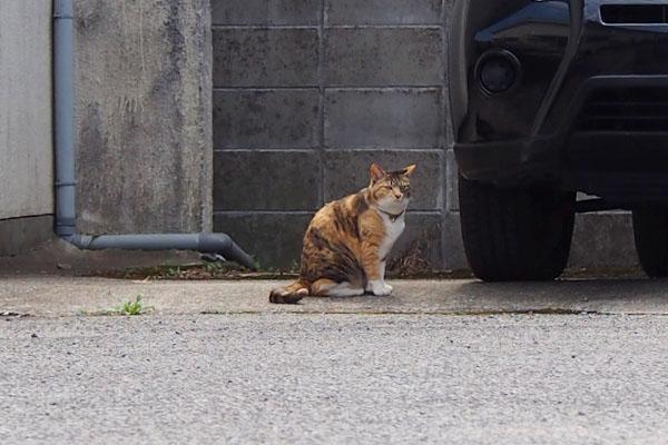 車の横でお座り 三毛猫さん
