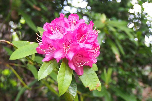 flower pink azarea