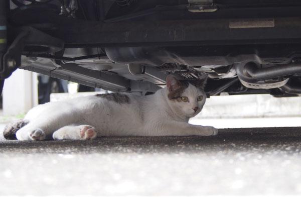 車の下にコチュ