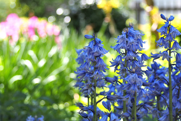 flower blue purple