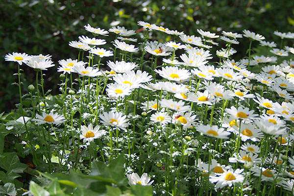 flower white margaret