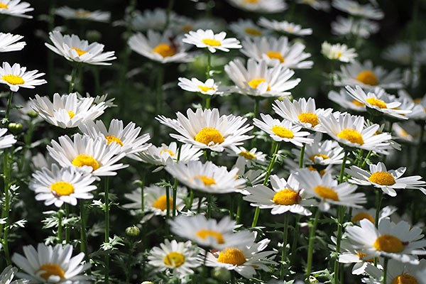flower white troop margaret