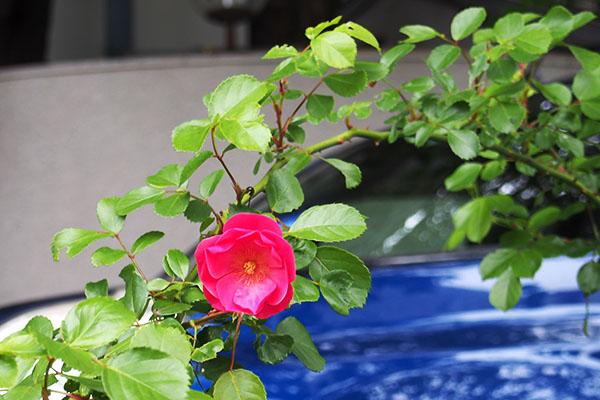 flower rose pink single