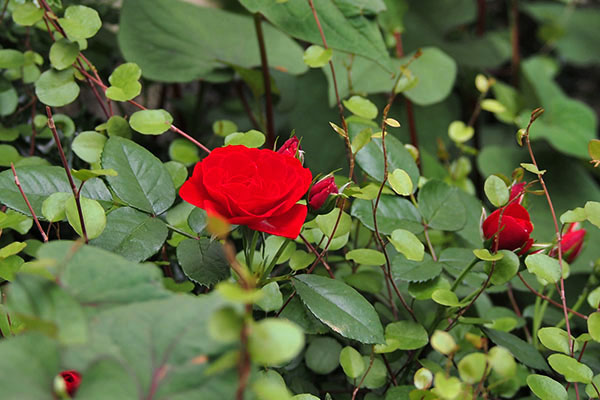 flower red rose small
