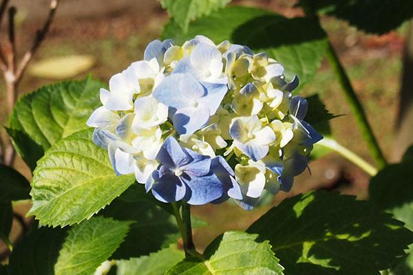 hydrangeia flower blue