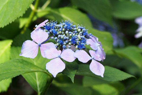hydrasia gin place flower purple