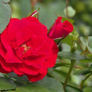 flower red rose 薔薇
