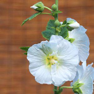 flower white tachiaoi