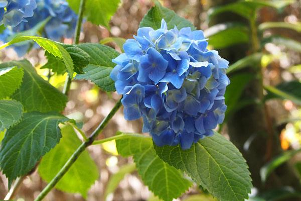 flower bule hydrasea ajisai