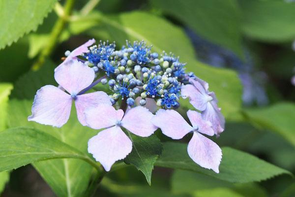 flower purple hydrasea 額紫陽花