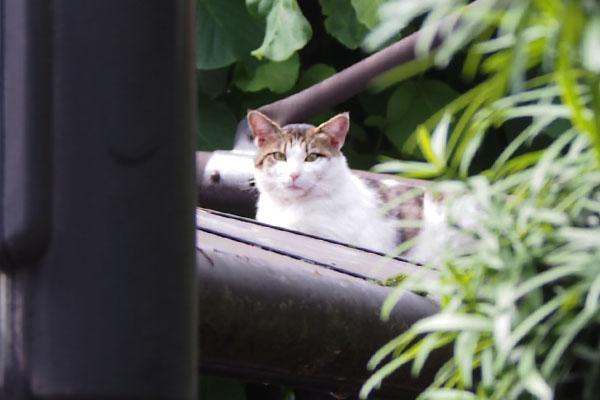 kijishiro new cat guriplace