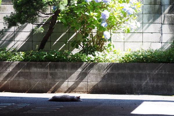 紫陽花を鑑賞しつつお昼寝グリ