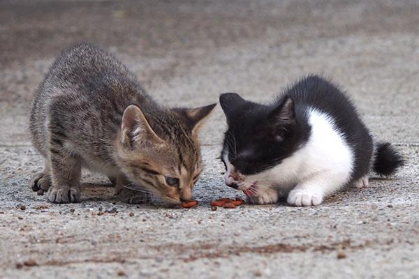 平和に食べる薄キジちゃんとミニこまち
