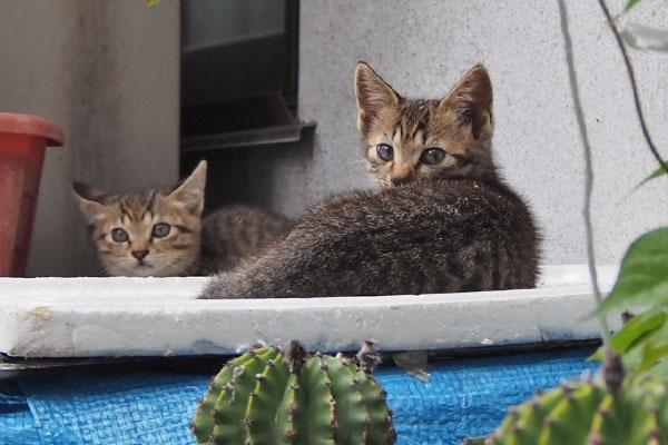 サボテン越しの仔猫たち2