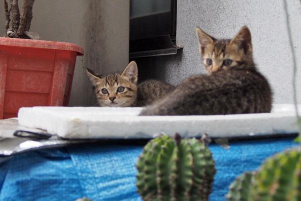 サボテン越しの仔猫たち