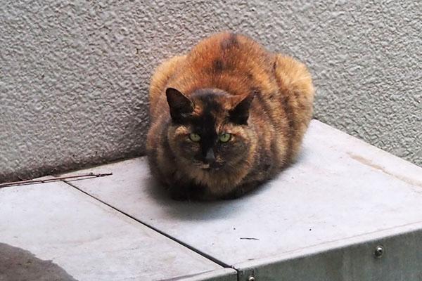 サビ猫さん ズーム