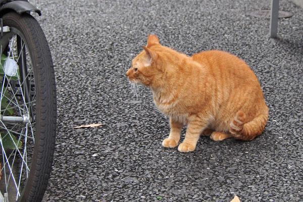 道路を渡って来たカブ