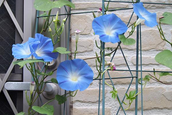 flower blue asagao