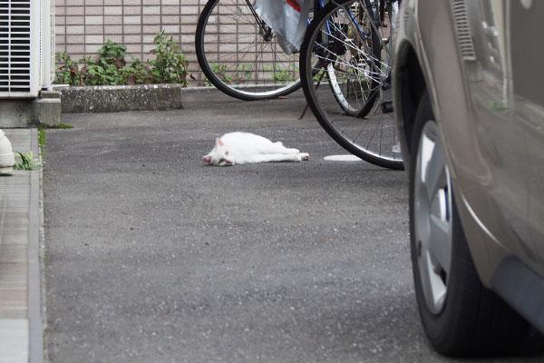 白猫さんがころりん うさぎ