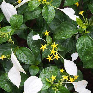 flower yellow white conronka コンロンカ
