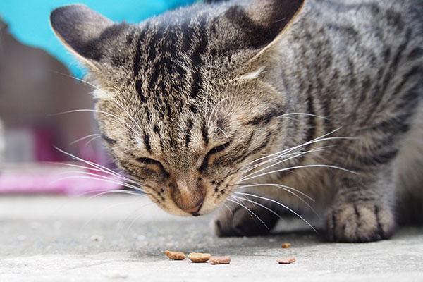 シマヲ 必死のお顔で食べる