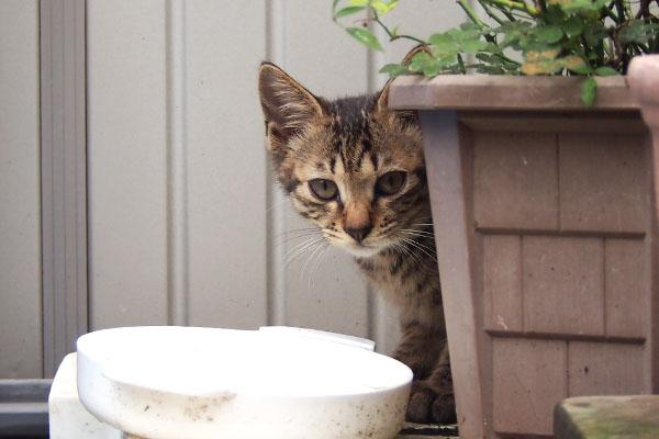 こい太 植木鉢の横から