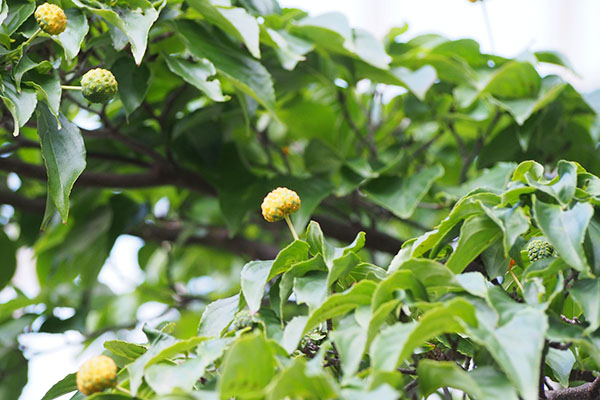 tree with yellow fruit YAMABOUSHI