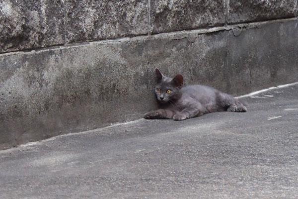 グレー仔猫