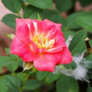 tiny rose red flower