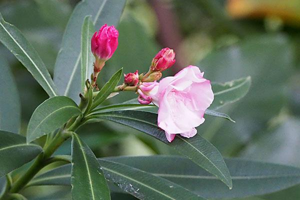 flower pink at kobe