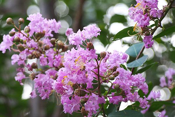flower pink sarusuberi