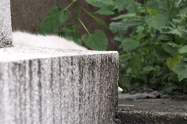 メルの正面に白い毛 チロル