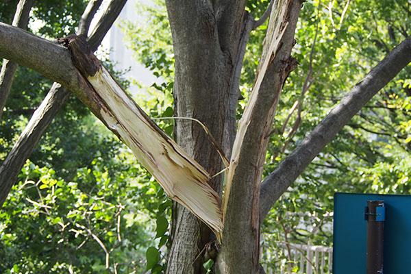 折れていた太い木