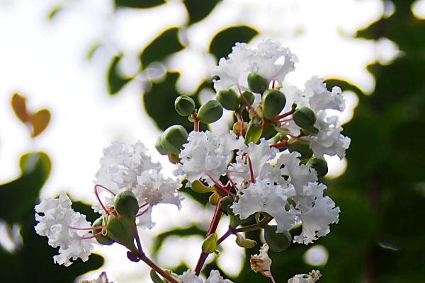 flower white sarusuberi
