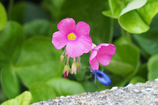 flower pink tiny