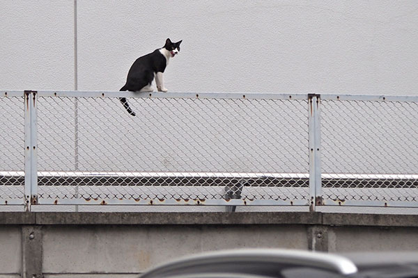 裏のフェンスの上 こまち