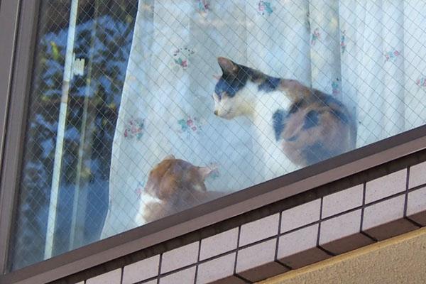 家猫さん 茶白と三毛さん1