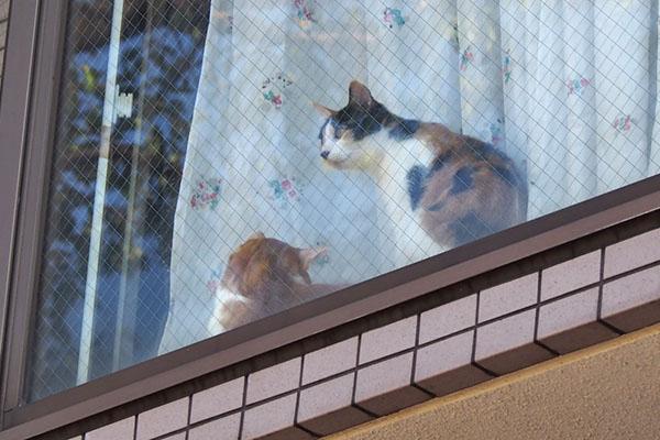 家猫さん 茶白と三毛さん2
